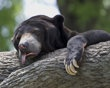 A sun bear reacts to triple-digit temperatures at the Henry Doorly Zoo in Omaha, Neb., Friday, July 6, 2012. The temperature reached 103 degrees Fahrenheit (39.5 Celsius) Friday. (AP Photo/Nati Harnik  poor bear