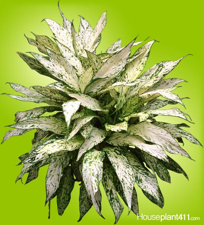 Dieffenbachia star bright houseplants beautiful leaves for Planta ornamental venenosa dieffenbachia