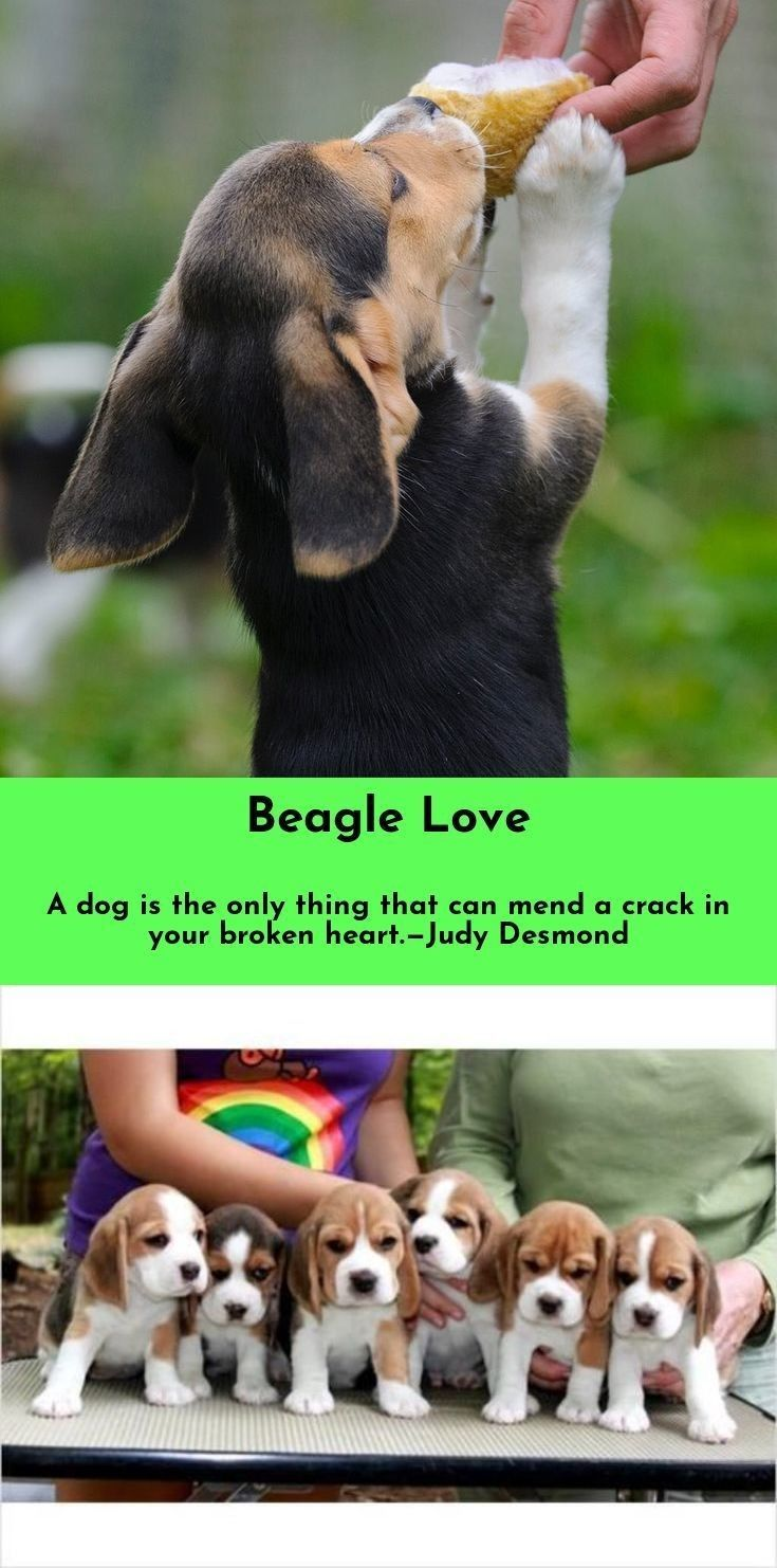 Want To Know More About Beagles Beagles Check The Webpage For