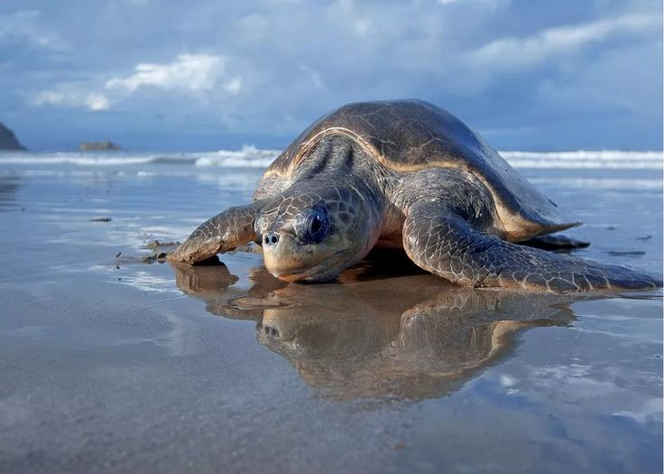 An endangered sea turtle makes its way across the beach in Nicaragua's La Flor Wildlife Refuge.
