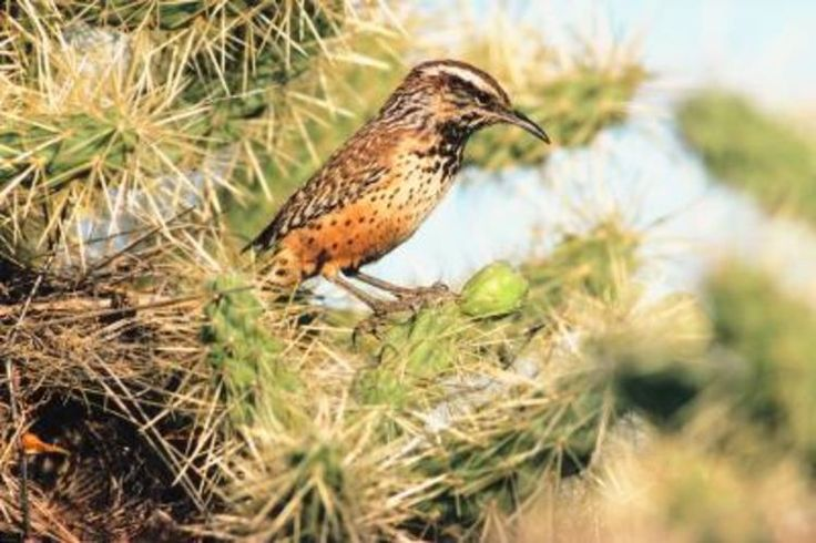Brown Birds with Long Beaks | Brown Bird With Long Beak Http Www Jrcompton Com Photos The Birds J ...