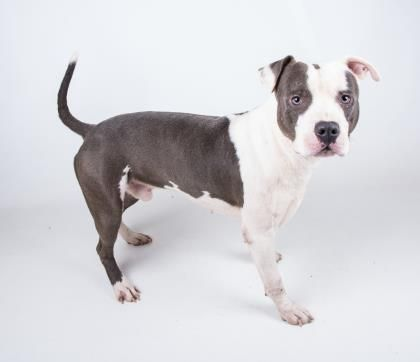 Cargo - URGENT - Dekalb County Animal Shelter in Decatur, Georgia - ADOPT OR FOSTER - 2 year old Male Am. Pit Bull Mix - Cargo is ready to hop in the car and hit the road to your house! This lively two year old boy is confident and cool. He shares his kennel with another dog and they do great together. He is two years old, weighs about 50 pounds, and is ready to go home with you! His adoption includes his neuter, microchip, vaccinations, and more!