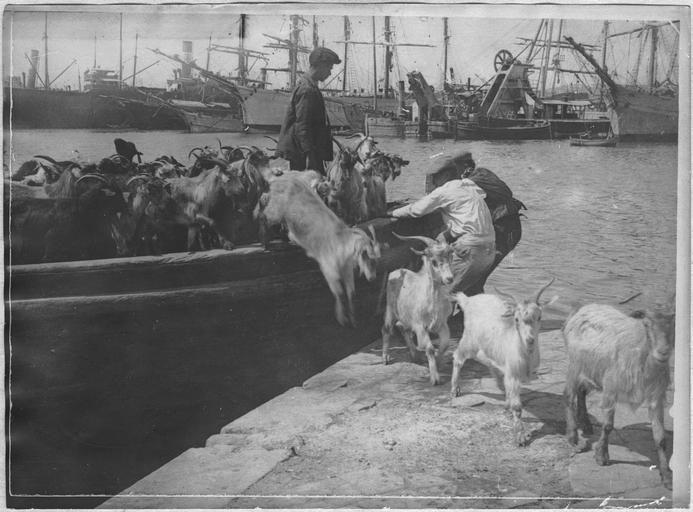 Opérateur C ; Machard, Pierre (photographe) Grèce ; Attique ; Le Pirée ; Dans le port du Pirée. Bateau débarquant des chèvres
