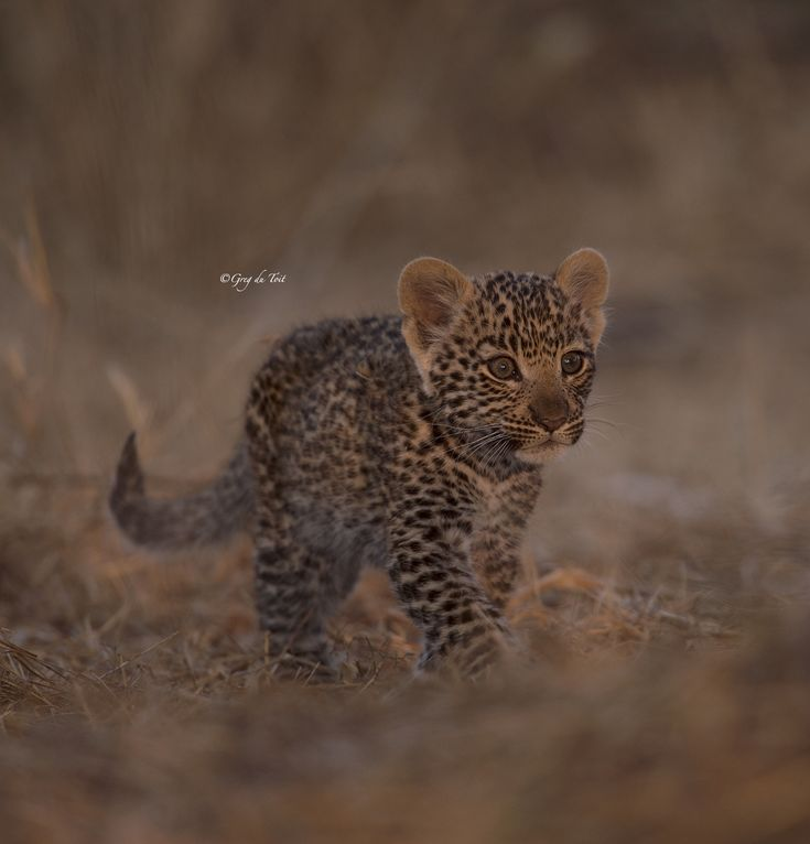 Mombo #Leopard #Cub - Cutest little cub ever...