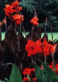 Google Image Result for http://www.hort.purdue.edu/ext/senior/flowers/images/large/canna1.jpg