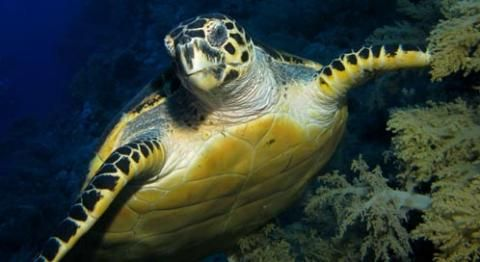 Size: Kemp's Ridley is the smallest sea turtle at 30 inches long (.762m). The largest sea turtle is the leatherback - an adult can reach over six and a half feet long (over 1.8m). Adult female and male sea turtles are the same size.Weight: Kemp's Ridley weighs between 80-100lbs (36-45 kg). Leatherback can weigh over 2,000 pounds (over 907 kg)Lifespan: Up to 80 years.