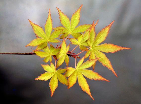 Fotografia Fine Art, Acer Palmatum, Botanica, Macro, Hojas Acer, Impresión Gyclee, tinta pigmentada,  Decoración mural, Naturaleza, Close up. #flowers #fineart #photography #fotografia #flores