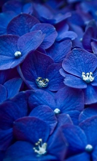 Blue | Blau | Bleu | Azul | Blå | Azul | 蓝色 | Color | Form | Texture | hydrangea
