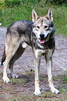 """Saarloos wolfdog.  Hybrid breed often cited as looking most like a wolf, but a nice family dog.  Ironically, its """"cautious, reserved, and lacks the ferocity to attack."""""""