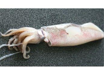 peche en atlantique nord est 1 kg golfe de gascogne filets maillants dérivant