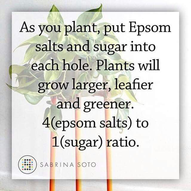 As you plant, put Epsom salts and sugar into each hole.