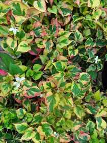 Polska wersja    PLANT PROFILE  Houttuynia cordata is a creepy parennial from south east Asia where it is popular vegetable, spice a...