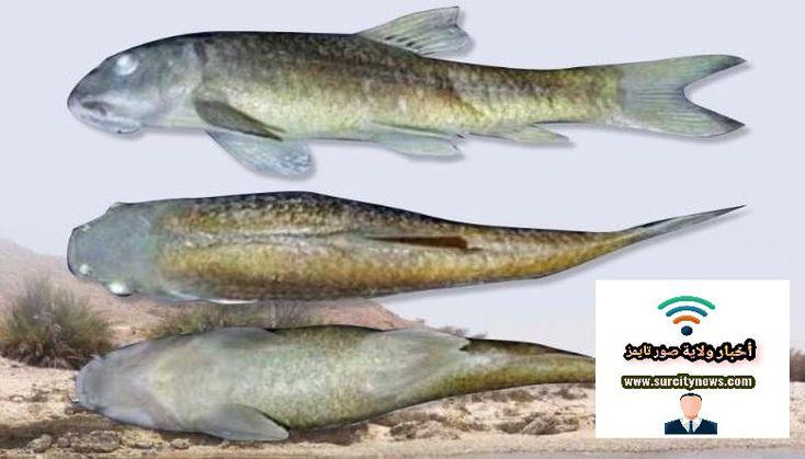 جديد ا من الأسماك في جبل سمحان Oman اكتشف فريق من الباحثين من المركز الوطني للبحث الميداني في مجال حفظ البيئة بديوان البلاط الس Fish
