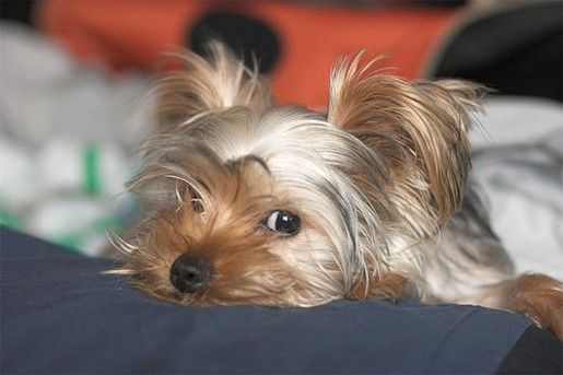 Best 25+ Yorkie puppies ideas on Pinterest | Baby yorkie