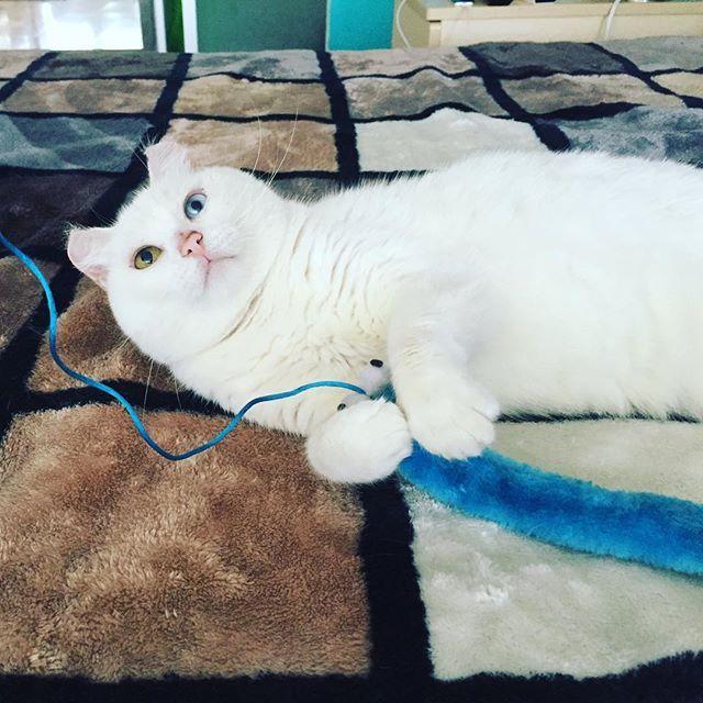 Hora de jugar con Bico #Bico #gato #juegos #animal #mascota #naturaleza #nature #home #kitty #cute #lovely #adorable #cat #playtime #happy #pet #neko #heterochromiacute,mascota,kitty,bico,heterochromia,happy,gato,playtime,lovely,naturaleza,home,juegos,pet,cat,nature,neko,adorable,animal