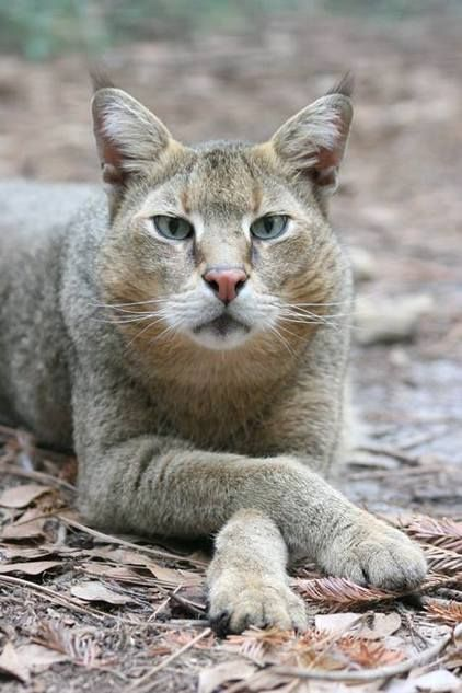 Gorgeous jungle cat (Felix chaus) photo from Jungle Kingdom Cattery. Jungle cats are the largest species in the Felix genera (same one as domestic cats). In winter, they'll often develop ear tufts like this one. Hybrids of jungle cats and domestic cats are called Chausies and not considered suitable as pets until F5 generation.