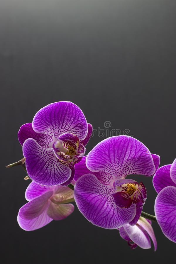 Beautiful Pink Orchid Phalaenopsis On Dark Background Pink Orchid Phalaenopsis Affiliate Orchid Pink Beaut Pink Orchids Dark Backgrounds Phalaenopsis