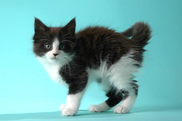 Maine Coon, Black Solid & White (n 09). HOG II DallasFort Worth of Shadowlady