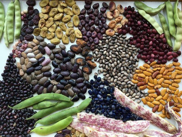 Der Blog zum Bohnen-Atlas -  Aktuelles -  Bohnensorten im Vergleich -  neue Bohnenporträts