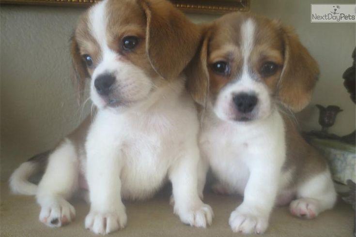 Meet zeke a cute Beaglier puppy for sale for $550. Gorgeous male Beaglier