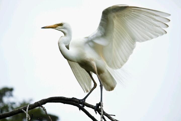 The white heron ,near  whataroa photograph by Nicholas Glasson