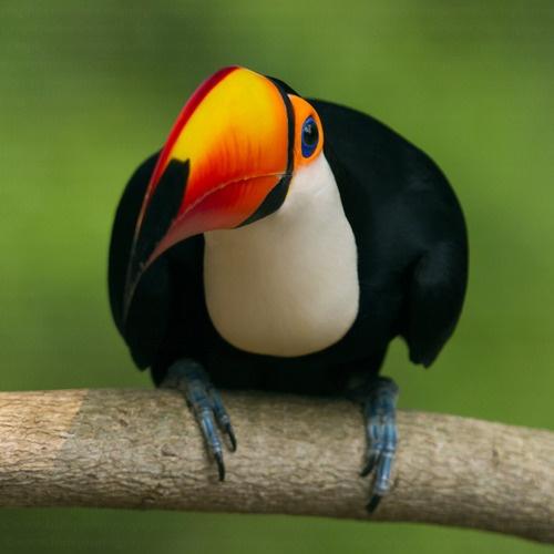 Toco toucan | Birds | Animaux, Oiseaux, Toucan