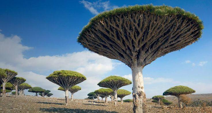 Dragon's Blood trees in Yemen