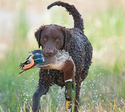 Curly Coated Retriever - With a love for water and an inherent drive for birds, the curly-coat is a stellar hunting partner.