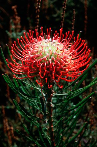 Leucospermum lineare (Needle-leaf pincushion) - The carmine color-form of Leucospermum lineare flowering in spring near Franschhoek, Western Cape, South Africa. [photo Colin Paterson-Jones ©]