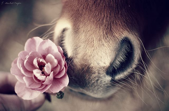 mini nose, mini rose by gypsymarestudios, via Flickr