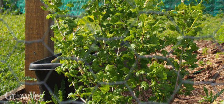 Gooseberry bush in fruit cage