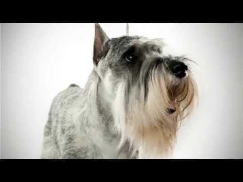 Top 10 Amazing Facts About Standard Schnauzers - standard schnauzer puppies - YouTube