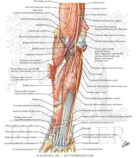 83 best images about muscle anatomy on pinterest | human anatomy, Cephalic Vein