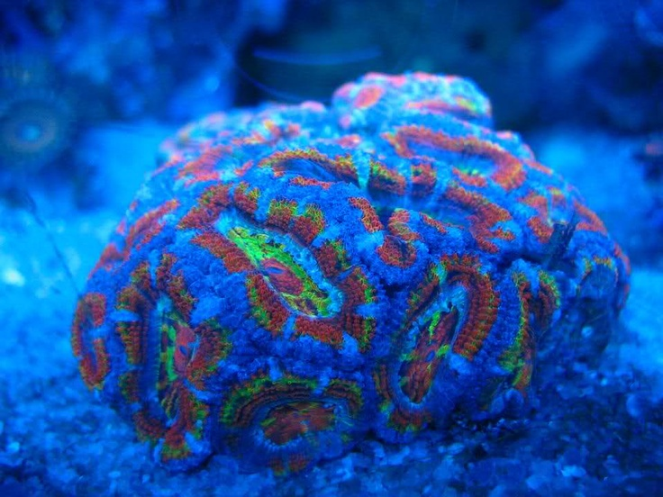 273 best corals images on pinterest coral reefs for What saltwater fish are in season now