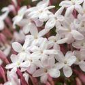 Jasminum Polyanthum, Pink Jasmine, White Jasmine, Many-Flowered Jasmine, Jasminum blinii,Fragrant Vine, Fragrant Shrub, Evergreen Vine, evergreen shrub, White Flowers