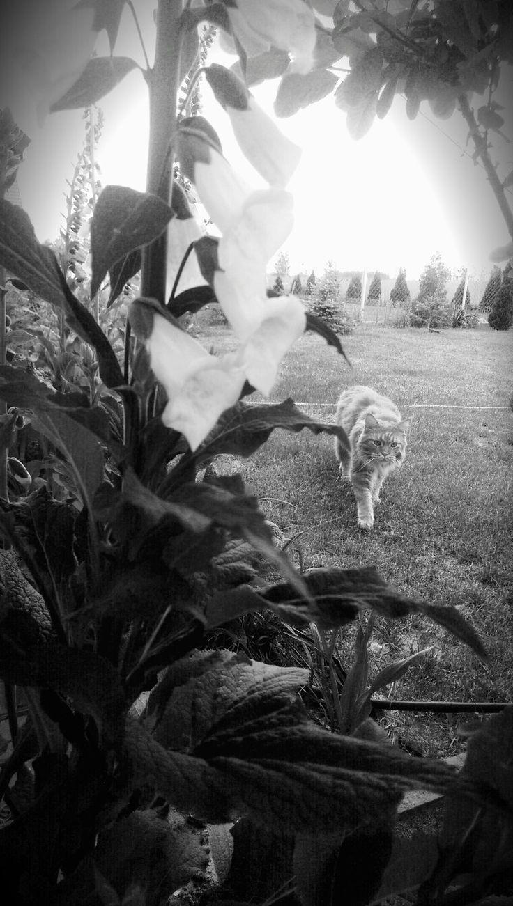 Maine coon in my little garden.