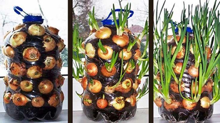 Como plantar cebollas en una botella de plástico paso a paso y muy facil