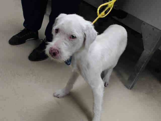 11/29/16-HOUSTON - HIGH KILL FACILITY - ALL DOGS URGENT DUE TO OVERCROWDING This DOG - ID#A473156 I have a rescue group interested in me. I am a female, white Norfolk Terrier mix. The shelter staff think I am about 10 months old. I have been at the shelter since Nov 29, 2016. This information was refreshed 50 minutes ago and may not represent all of the animals at the Harris County Public Health and Environmental Services.