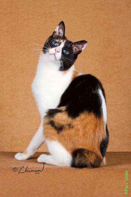 Japanese Bobtail | Japanese bobtail, Bobtail cat, Japanese cat