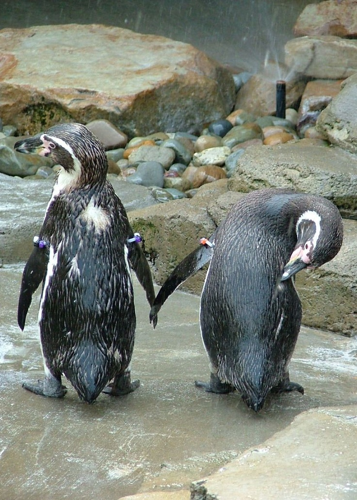 Emma and Tweedle the Humboldt Penguins at the Akron Zoo