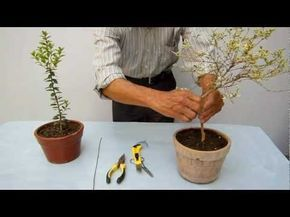 Pre bonsai Poda y alambrado - YouTube