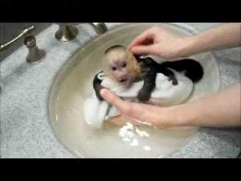 Capuchin Monkey Frankie Takes a Bath