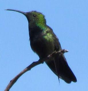 Foto Blog Puerto Rico: Foto de Zumbador Verde
