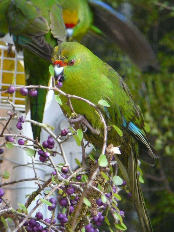 Twelve kākāriki or yellow-crowned parakeet released into the Abel Tasman National Park are the first captive raised kākāriki to ever be released onto the New Zealand mainland. #nzbirds
