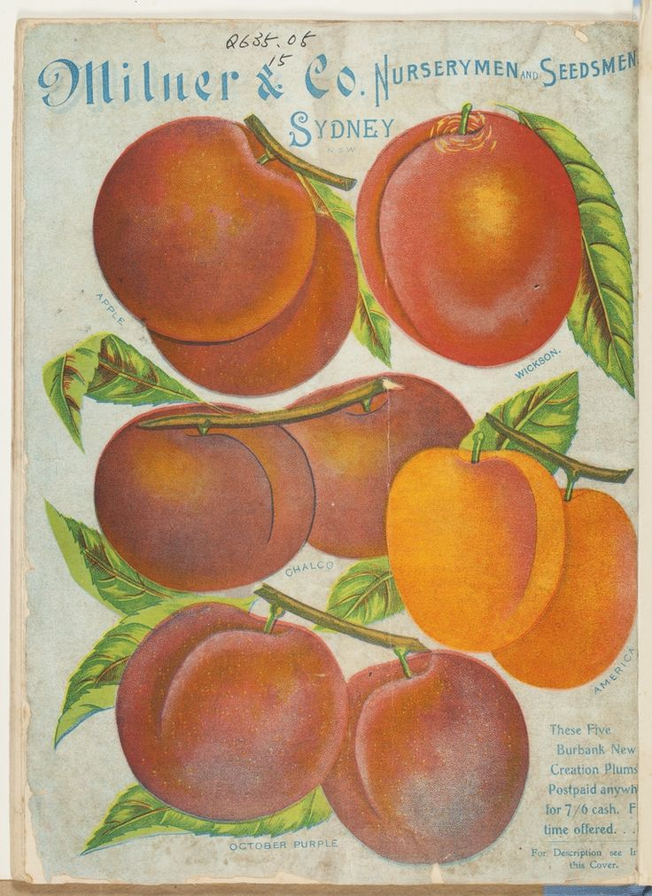 Plums, from Milner & Co. Nurserymen and Seedmen [catalogue], Sydney 1900.  http://www.sl.nsw.gov.au/discover_collections/history_nation/agriculture/produce/juicy