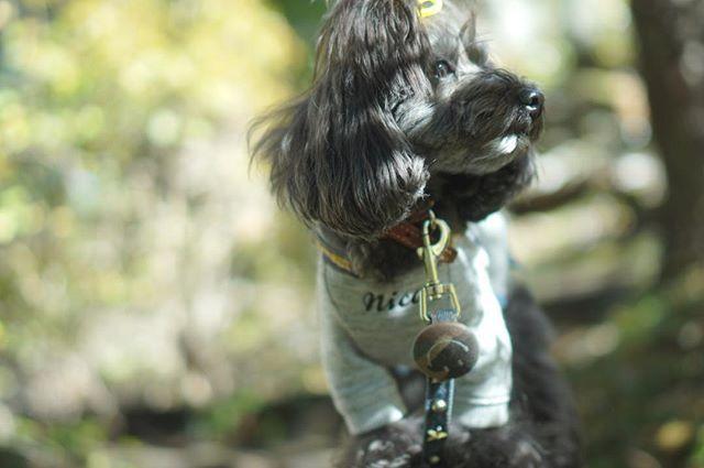 おはようございます☺︎ たまにはモデル風(笑) ❁.*・゚ 今日も良き日で✩°。 ⸜(* ॑ ॑* )⸝ #ダップー#ミックス犬#トイプー#ダックス#愛犬#ミックス犬同好会#ダップー組#ミラーレス#ミラーレス一眼#ミラーレス一眼カメラ#sony#αシリーズ#カメラ#カメラ女子#dappu#dappoo#mixdog#mixdoglove#dog#mixdogphoto#inu#mixdogstagram#inustagram#instadog#dogstagram#todayswanko#inutoday#inulog#wooftoday#inutokyo