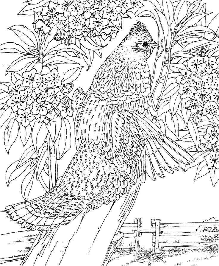 free printable coloring pagepennsylvania state bird and flower ruffed grouse