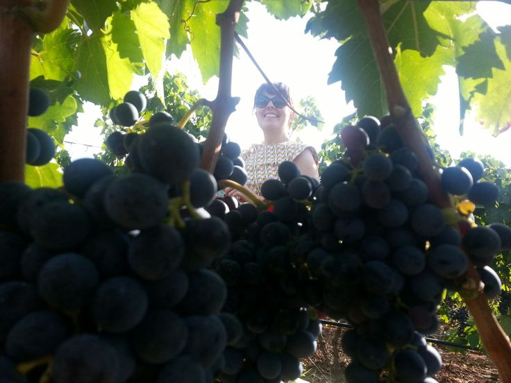 It's time to harvest negroamaro bunches!