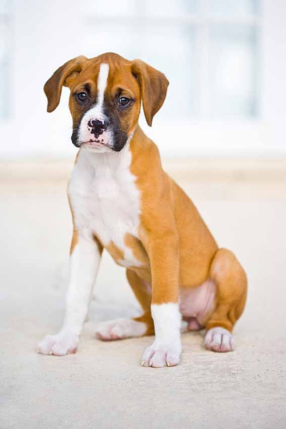 This cute Boxer puppy wants to choose from only the most popular Boxer dog names. Find them here... http://www.dog-names-and-more.com/Boxer-Dog-Names.html