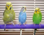 This Parakeet Care Sheet will help you with everything that you need to know: diet enclosure size lifespan bathing safe fruits and veget...